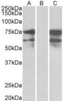 HEK293 lysate (10ug protein in RIPA buff