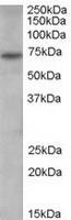 TA302558 (0.3ug/ml) staining of human sp