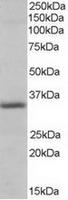 TA302574 (0.3ug/ml) staining of Human He