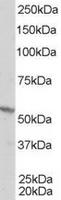 TA302594 staining (1ug/ml) of A431 lysat