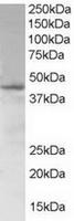 TA302597 (1ug/ml) staining of Jurkat lys