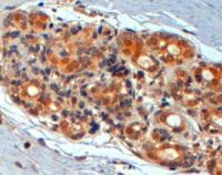 TA302636 (2ug/ml) staining of paraffin e