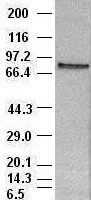 STAT4 antibody ( 2A2 ) at 1:100 dilution