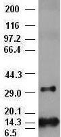 BFGF antibody (2H11) at 1:10000 + Recomb