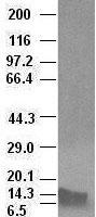 BMP4 antibody ( 6B7 ) at 1:100000 diluti