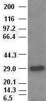 Hex antibody ( 4B7 ) at 1:1000 with Lysa