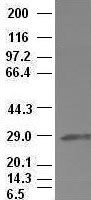 Hex antibody (3C4) at 1:100 dilution + L