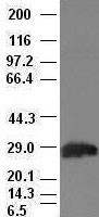 Hex antibody ( 2H7) at 1:100 dilution +