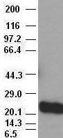 Noggin antibody (1H8) at 1:40000 + Recom