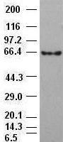Beta-catenin antibody (2H3) at 1:1000 di