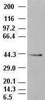 EpCAM antibody (4G10) at 1:500 dilution