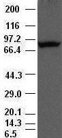 Periostin antibody ( 47 ) at 1:500 dilut