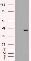 HEK293T cells were transfected with the