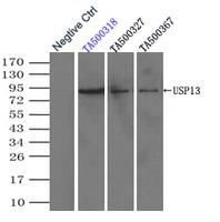 Immunoprecipitation (IP) of USP13 by usi
