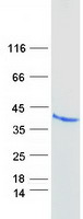 Coomassie blue staining of purified F11R
